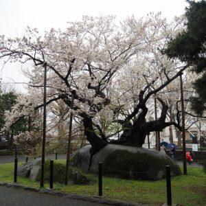 石割桜の写真
